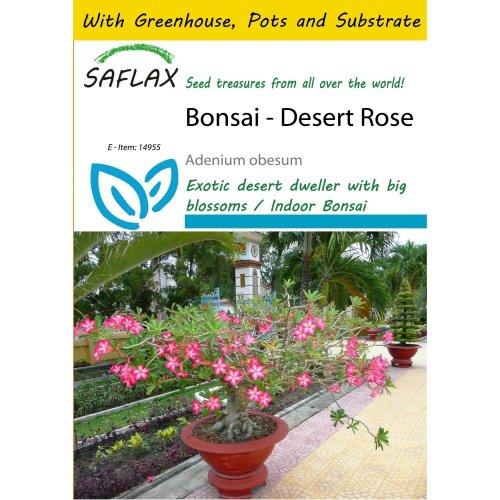 Saflax Potting Set - Bonsai - Desert Rose - Adenium Obesum - 8 Seeds - with Mini Greenhouse, Potting Substrate and 2 Pots