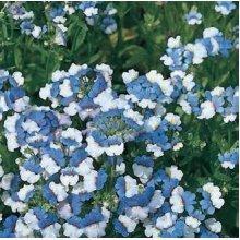 Flower - Nemesia - KLM - 100 Seeds