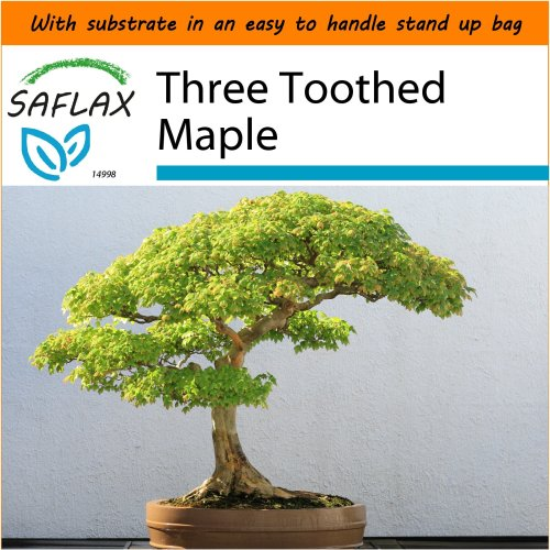 SAFLAX Garden in the Bag - Bonsai - Three Toothed Maple - Acer - 30 seeds