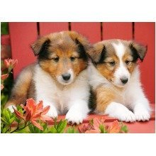 Csb007141 - Castorland Jigsaw 70 Pc - Collie Pups