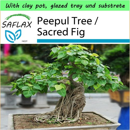 SAFLAX Garden to Go - Bonsai - Peepul Tree / Sacred Fig - Ficus - 100 seeds
