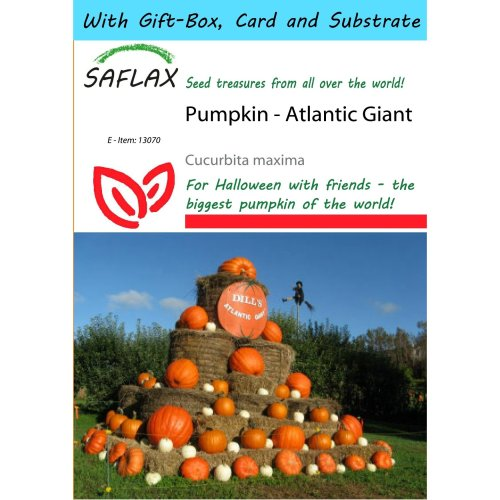 Saflax Gift Set - Pumpkin - Atlantic Giant - Cucurbita Maxima - 7 Seeds - with Gift Box, Card, Label and Potting Substrate