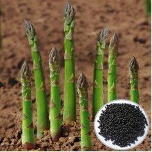 20PCS Garden Vegetable Asparagus Officinalis Seeds