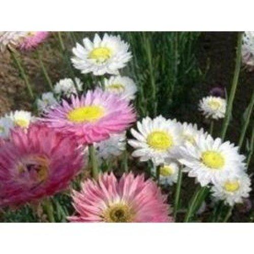 Flower - Acroclinium Grandiflorum Mixed - 300 Seeds
