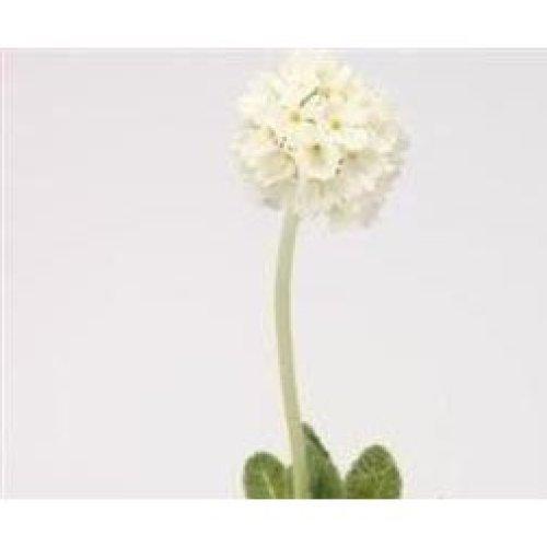 Flower - Primula Denticulata - White - 100 Seeds
